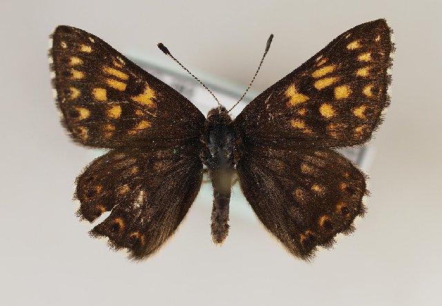 Image of <i>Hamearis lucina</i> Linnaeus 1758