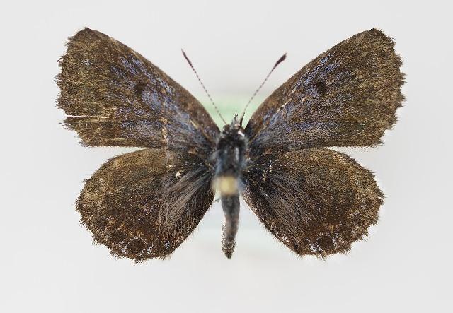 Image of <i>Scolitantides orion</i> (Pallas 1771)