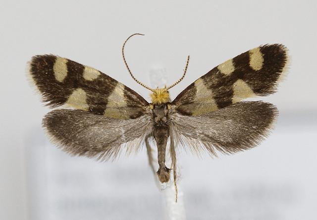 Image of <i>Lampronia rupella</i> (Denis & Schiffermuller 1775) Denis & Schiffermuller 1775