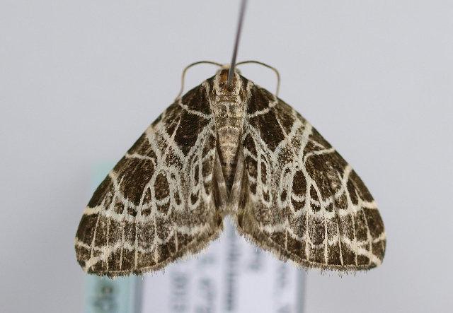 Image of <i>Eustroma reticulata</i> Schiffermüller 1775
