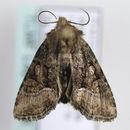 Image of <i>Oligia dubia</i> Heydemann 1942