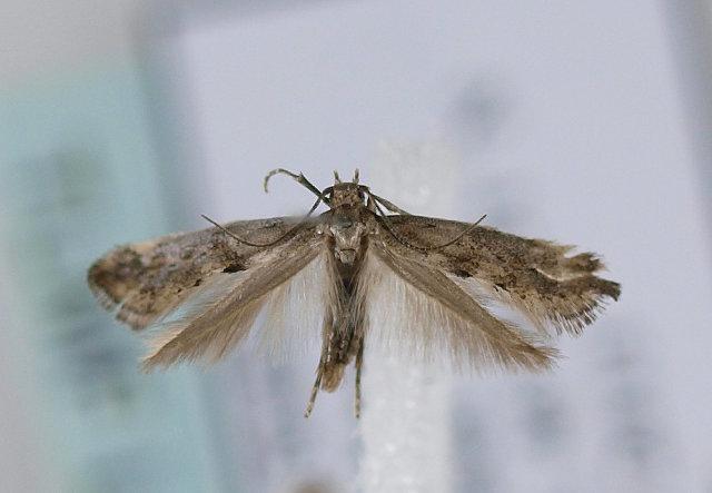 Image of <i>Epermenia ochreomaculellus</i>