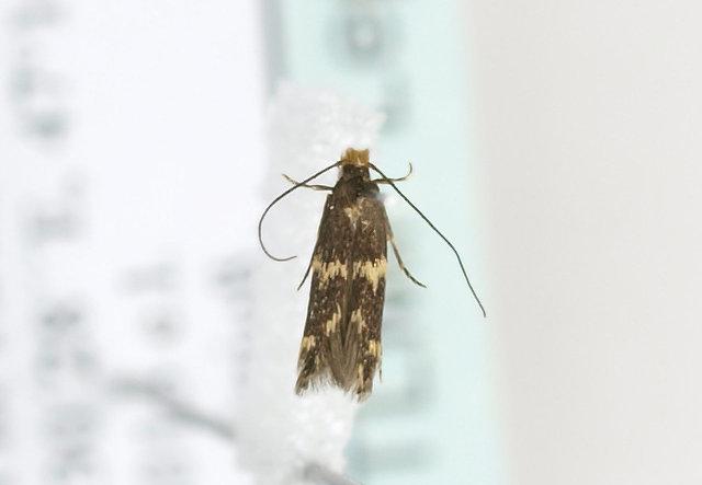 Image of Wine moth