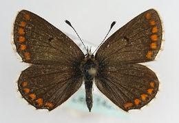 Image of <i>Plebejus agestis</i>