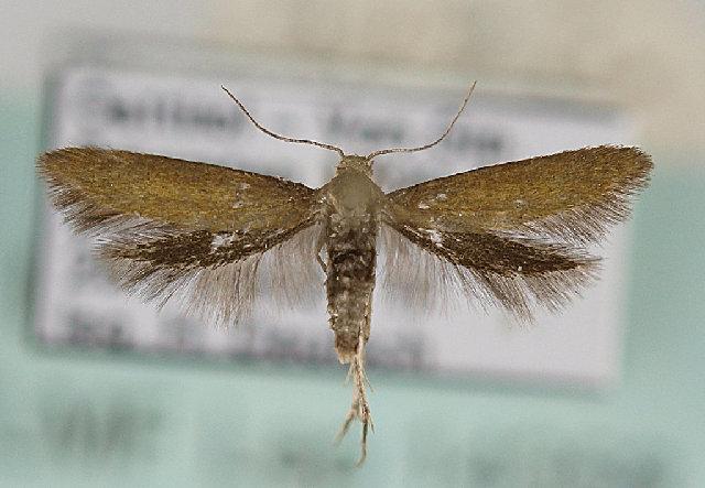 Image of <i>Epermenia devotella</i> (Heyden 1863) Heyden 1863