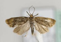 Image of <i>Eucosmomorpha albersana</i>