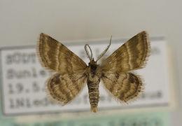 Image of <i>Emmiltis pygmaearia</i>