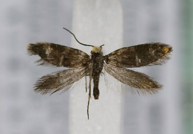 Image of <i>Micropterix aureoviridella</i> Höfner 1898