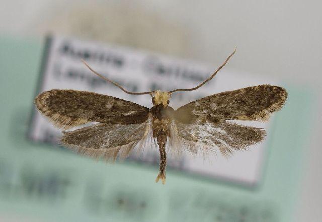 Image of <i>Monopis neglecta</i>
