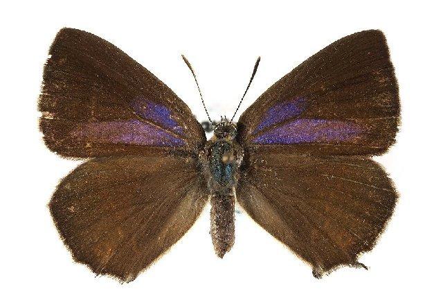 Image of Neozephyrus
