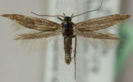 Image of <i>Scythris felixi</i>