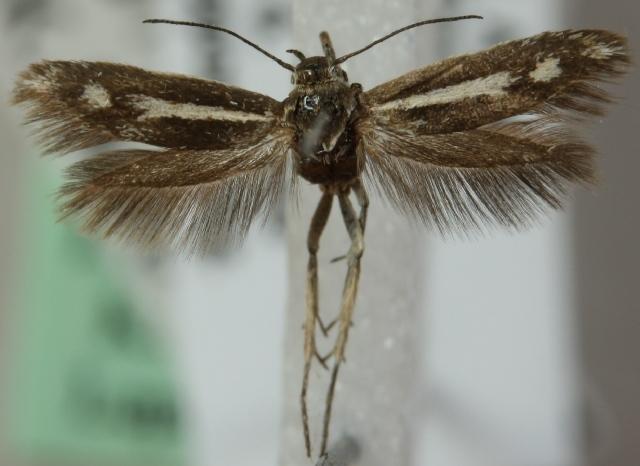 Image of <i>Scythris latilineella</i>