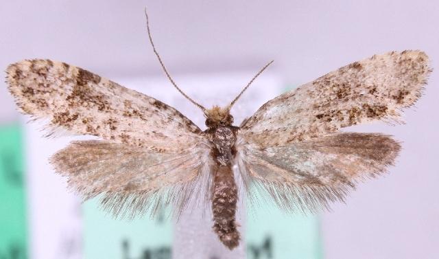 Image of <i>Triaxomera parasitella</i> (Hübner 1796)