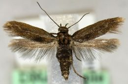Image of <i>Scythris cicadella</i> Zeller 1839