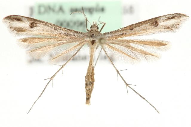 Image of <i>Stenoptilia islandicus</i> (Staudinger 1857)