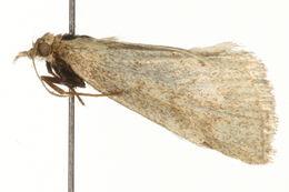 Image of <i>Psammotis pulveralis</i> (Hubner 1796) Hubner 1796