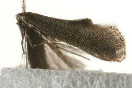Image of bugloss spear-wing
