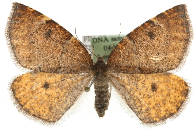 Image of aspen moth