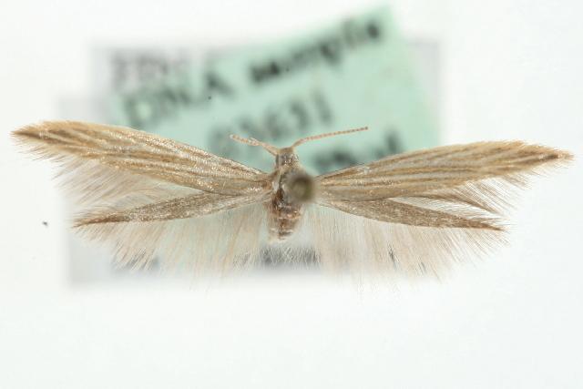 Image of <i>Coleophora therinella</i> Tengström 1847