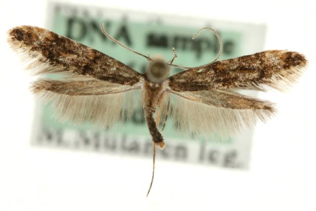 Image of <i>Stenoptinea cyaneimarmorella</i> (Millière 1854)