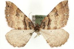Image of Earophila