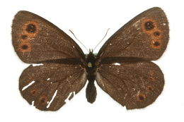 Image of Lapland Ringlet