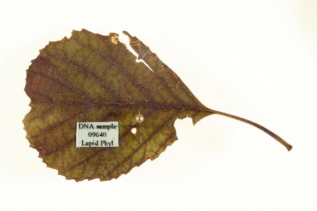Image of <i>Stigmella alnetella</i> (Stainton 1856) Beirne 1945