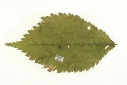Image of <i>Stigmella lemniscella</i> (Zeller 1839) van Nieukerken 1986