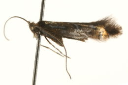Image of <i>Phyllonorycter trifoliella</i> (Gerasimov 1933)