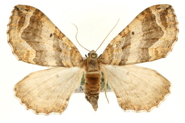 Image of Pelurga