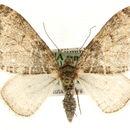 Image of Bigwing