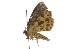 Image of spotted beauty