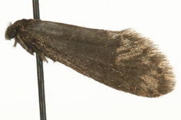 Image of <i>Taleporia borealis</i> Wocke 1862