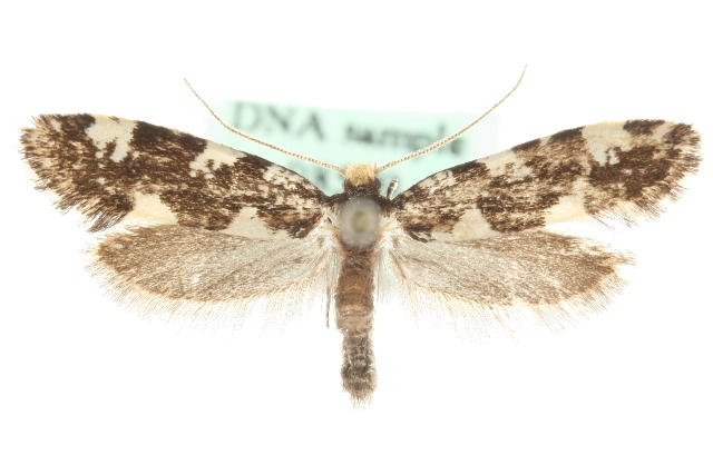 Image of <i>Triaxomera fulvimitrella</i> (Sodoffsky 1830)