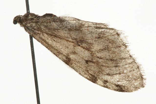 Image of <i>Malacodea regelaria</i> Tengström 1869