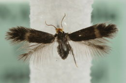 Image of <i>Stigmella glutinosae</i> (Stainton 1858) Beirne 1945