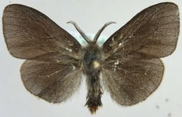 Image of <i>Canephora hirsuta</i>
