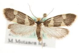 Image of <i>Lampronia capitella</i> (Clerck 1759) Clerck 1759