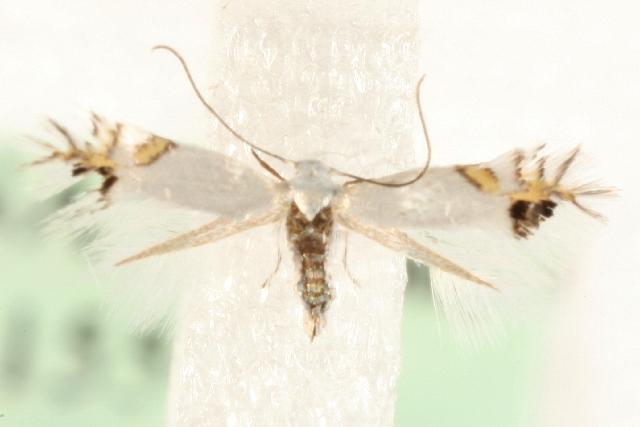 Image of <i>Leucoptera orobi</i> Stainton 1870