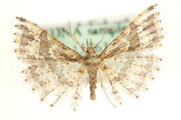 Image of <i>Pterotopteryx dodecadactyla</i> Hübner 1813