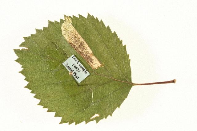 Image of birch leaf miner
