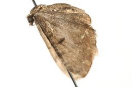 Image of <i>Eupithecia groenblomi</i> Urbahn 1969