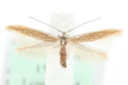Image of <i>Coleophora arctostaphyli</i> Meder 1933