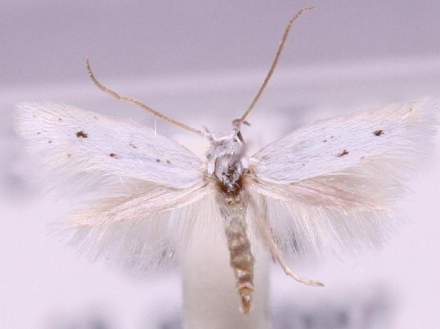 Image of <i>Elachista dalmatiensis</i> Traugott-Olsen 1992