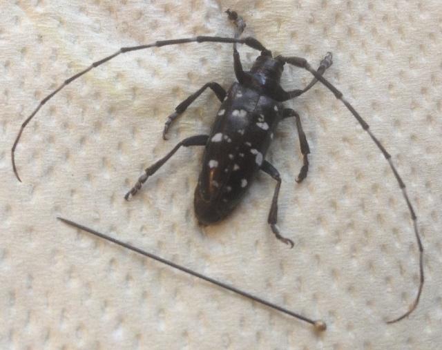 Image of Anoplophora