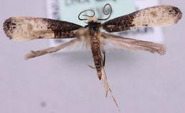 Image of <i>Trichophaga scandinaviella</i> Zagulajev 1960