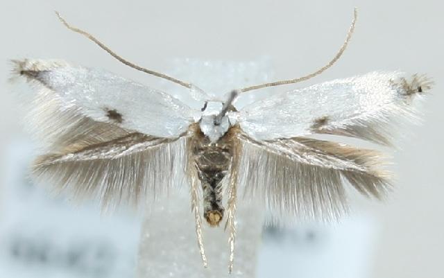 Image of <i>Pseudopostega auritella</i> (Hübner 1813) Davis 1989