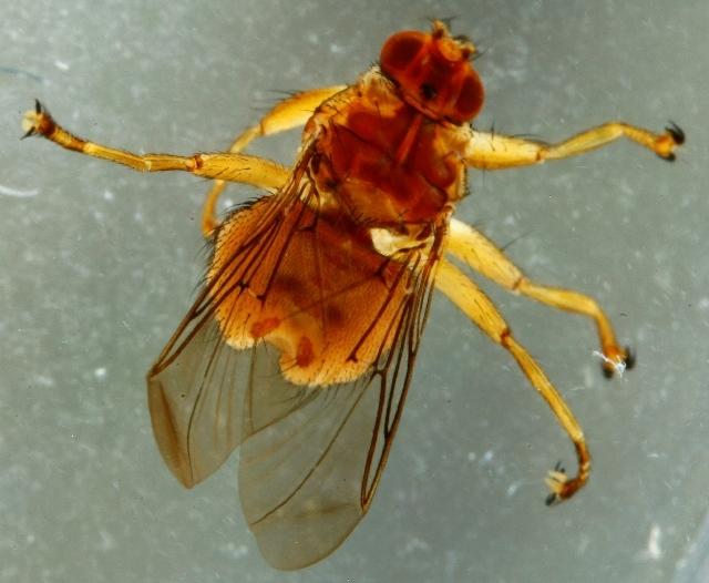 Image of Ornithomya