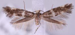 Image of <i>Elachista baikalica</i>