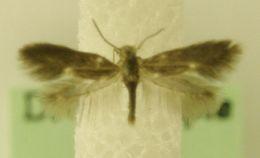 Image of <i>Heliozela resplendella</i> Stainton 1851